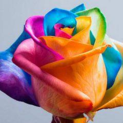 Egrow 100 Pcs Colorful Rare Rose Seeds Magic Garden DIY Flower Bonsai Perennial Plants Seed