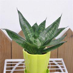 Egrow 400 PCS Garden Bonsai Sansevieria Seeds 100% Genuine Organic Blooming Flower Plant Seed
