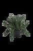 Aloe Vera plante H 42 cm