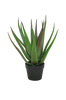 Aloe Vera plante H 50 cm